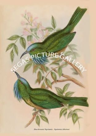 Blue-throated Nyctiornis - Nyctiornis Athertoni